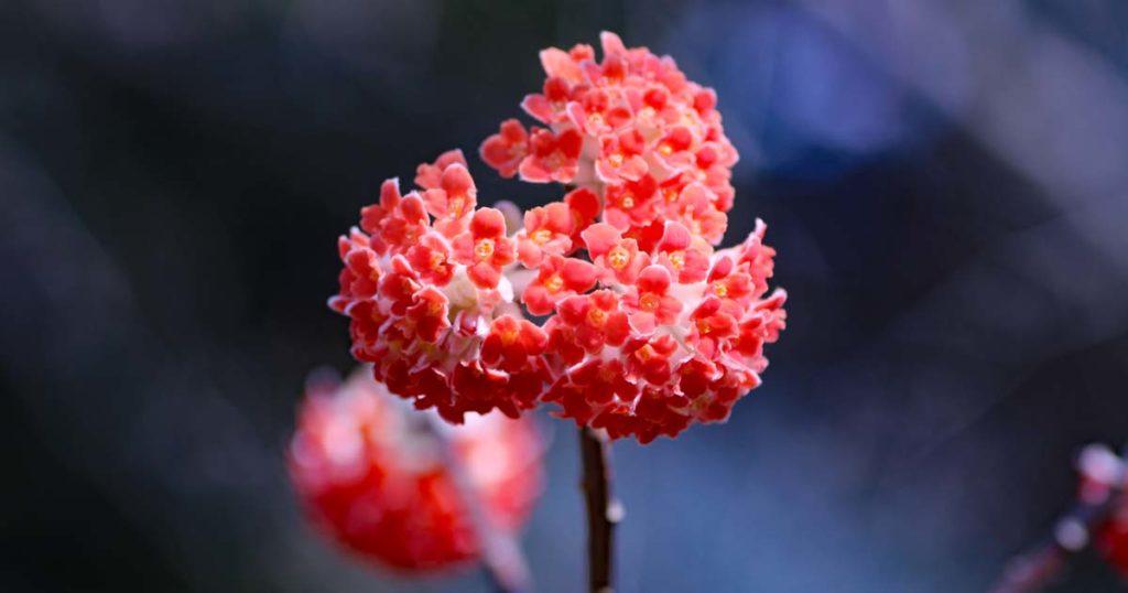 紅花ミツマタ